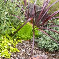 Xeriscape plant combination